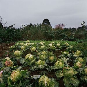 A cabbage patch and an old house.